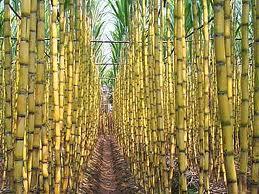 Brazil Enforcing Sugar Cane Ban