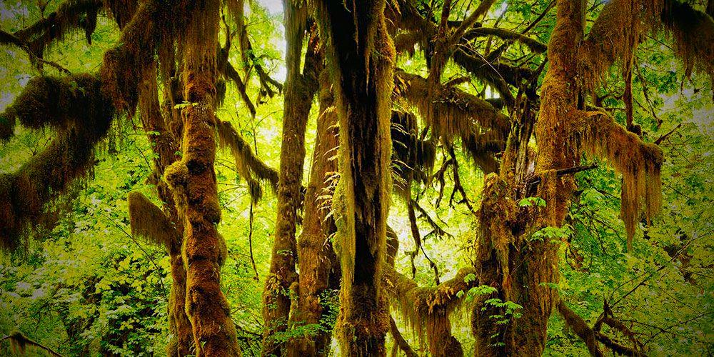 Big leaf maples in Hoh Rainforest in WA, USA