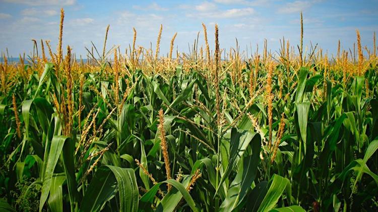 Corn field. Photo: Petr Kratochvil