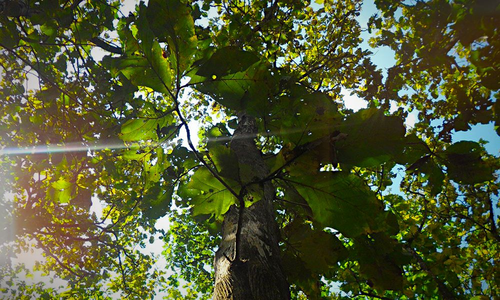 Sunlight through the treetops