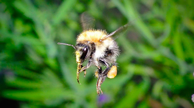 The giant flights of the bumblebee