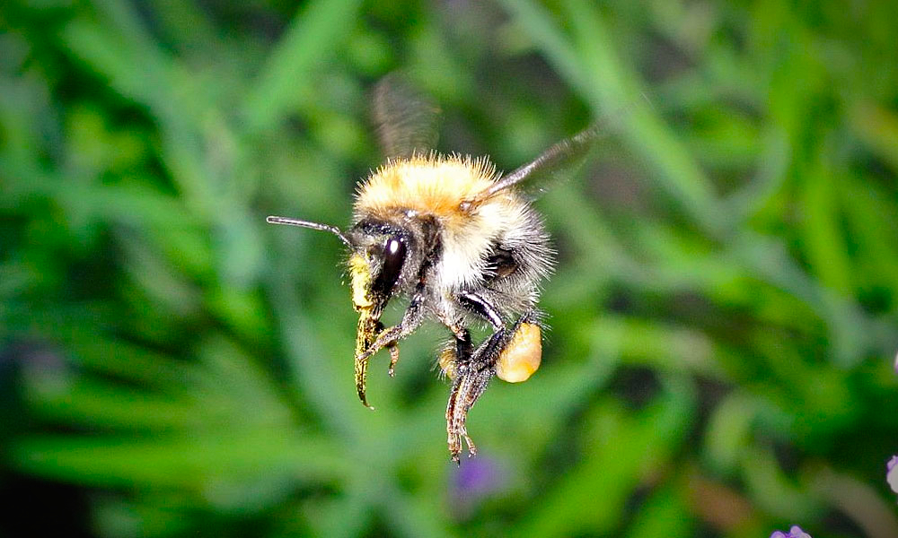 Bumblebee in flight with tongue extended.